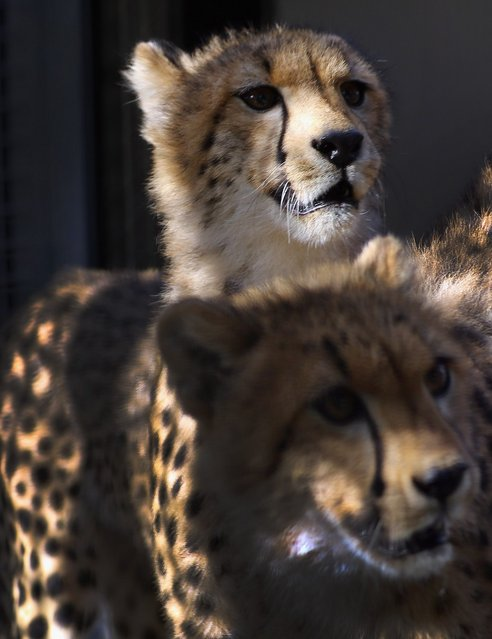 Two nine-month old Cheetahs are seen after they were released into a quarantine facility at Zoo Miami on November 29, 2012 in Miami, Florida.  The two sub-adult brothers who arrived today were captive-born on March 6th of this year at the Ann van Dyk Cheetah Centre just outside of Pretoria South Africa. The Cheetahs after being monitored and examined for a minimum of 30 days to insure that they are healthy and stable, will be featured in Zoo Miami's Wildlife Show at the newly constructed amphitheater and will continue the work of Zoo Miami's Cheetah Ambassador Program by making appearances off zoo grounds at a variety of venues including schools and civic organizations.  (Photo by Joe Raedle)