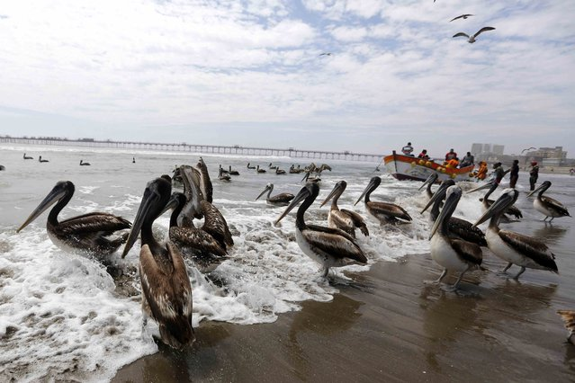 Pelicans are pictured on the shore as a fishing boat arrives at the port of Pimentel in the northern coast of Lambayeque, October 17, 2014. (Photo by Mariana Bazo/Reuters)