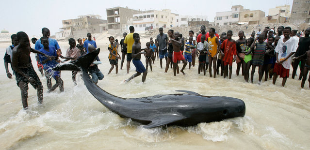Onlookers gather around a struggling beached whale in the Yoff neighborhood of Dakar, Senegal Wednesday, May 21, 2008. Residents worked Wednesday morning to save some of the more than 80 whales that were stranded on the beach Tuesday night. This whale was successfully towed out to sea by a fishing boat, though at least 20 others lay dead on the beach by midday Wednesday. (Photo by Rebecca Blackwell/AP Photo)