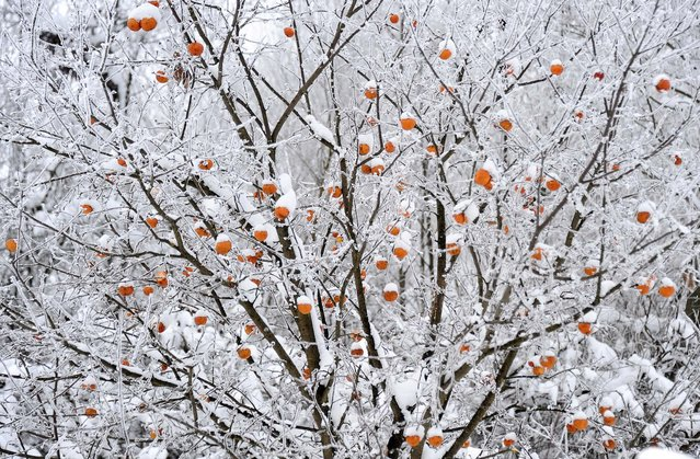 Crab apples are covered in snow and ice at the Liptovska Mara dam in Slovakia on December 5, 2010. (Photo by Joe Klamar/AFP Photo)