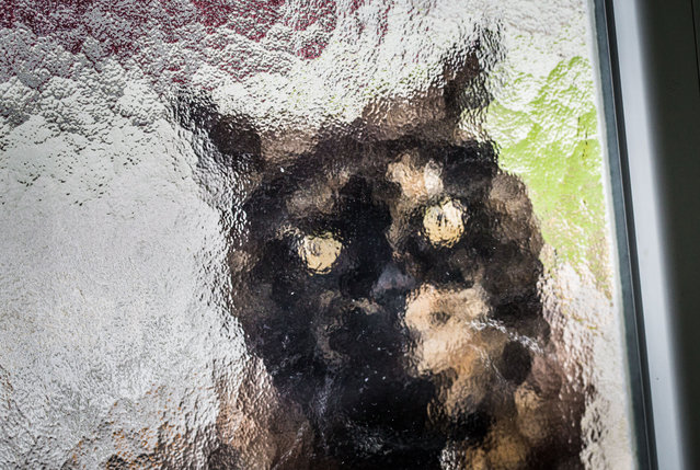A cat sits behind a glass pane in the front door waiting to be let in from the rain in Frankfurt am Main,Germany, November 3, 2014. (Photo by Frank Rumpenhorst/EPA)