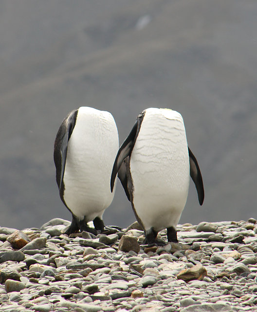 Two penguins appear to be walking headless, pictured by Charles Kinsey for the Comedy Wildlife Photo Awards 2016, July 2015. (Photo by Charles Kinsey/Barcroft Images/Comedy Wildlife Photo Awards)