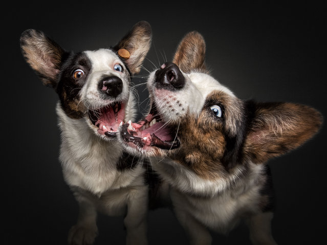 Corgies. (Photo by Vieler Photography/Caters News Agency)