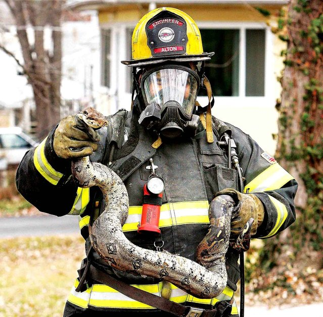 Alton, Ill., Fire Department engineer Craig Green holds the largest of five snakes found in the basement of 3310 Mayfield Ave. in Alton, Ill., Wednesday, November 26, 2014, after firefighters from Alton and East Alton, Ill., finished extinguishing a fire that started in the basement and spread through the walls damaging the structure. (Photo by John Badman/AP Photo/The Telegraph)