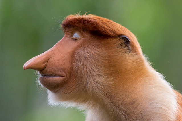 "Winner – Animal Portraits: The pose by Mogens Trolle, Denmark. A young male proboscis monkey cocks his head slightly and closes his eyes. Unexpected pale blue eyelids now complement his immaculately groomed auburn hair. He poses for a few seconds as if in meditation. He is a wild visitor to the feeding station at Labuk Bay Proboscis Monkey Sanctuary in Sabah, Borneo – ""the most laid-back character"", says Trolle, ""quite unlike anything I've ever seen on another monkey"" – connects us, he hopes, with a fellow primate. (Photo by Mogens Trolle/Wildlife Photographer of the Year 2020)"