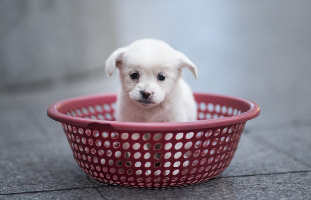 A puppy sits in a plastic strainer, waiting to be sold by its owner, in front of a subway station in downtown Shanghai on October 28, 2015. The owner sold four puppies each selling for 100 yuan (15.73 USD). (Photo by Johannes Eisele/AFP Photo)