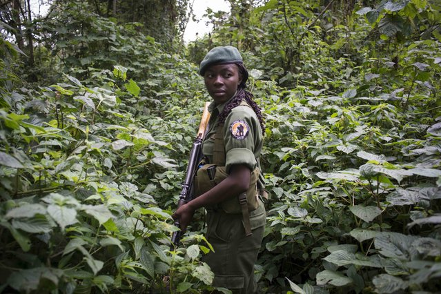 Aline, along with other rangers and park staff visit the gorilla's in the parks Mikeno sector, where the majority of the gorilla families live in Virunga National Park. Therefore there has been a surge of poaching and violence in the area. For the first time, women have taken up the most dangerous job in wildlife, becoming para-military rangers at the Virunga National Park in DR Congo. Virunga is Africa's oldest national park and home to over 200 of the world's 800 remaining mountain gorillas. For two decades it has been at the centre of a war. Hundreds of rebels operate in the park and over 150 park rangers have died protecting it from them. (Photo by Monique Jaques)
