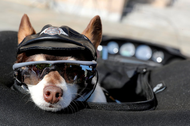 Daniel the chihuahua sits in his owner Kurt Gould's motorcycle as Rolling Thunder riders, who converge annually on Memorial Day in support of U.S. military veterans, have their bikes blessed during a brief service at the National Cathedral in Washington, U.S. May 25, 2018. (Photo by Jonathan Ernst/Reuters)