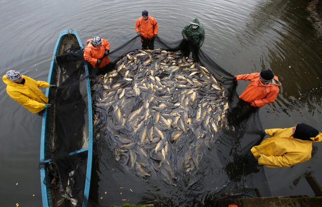 Fishermen hold a net with carps during the fish harvest of the Müritz-Plau fishing company at a pond in Boek, northeastern Germany, on November 8, 2016. The company expects a harvest of around 35 tons of table carps that will be sold during the year-end business. Carp is a traditional dish in Germany for the New Year's Eve. (Photo by Bernd Wustneck/AFP Photo/DPA)