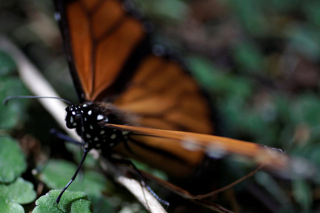 A monarch butterfly rests on the ground at the Sierra Chincua butterfly sanctuary on a mountain in Angangeo, Michoacan November 24, 2016. Angangueo is a town and municipality located in far eastern Michoacán state in central Mexico noted for its history of mining and its location in the Monarch Butterfly Biosphere Reserve. The Monarch Butterfly Biosphere Reserve is a World Heritage Site containing most of the over-wintering sites of the eastern population of the monarch butterfly. The reserve is located in the Trans-Mexican Volcanic Belt pine-oak forests ecoregion on the border of Michoacán and State of Mexico, 100 km (62 miles), northwest of Mexico City. Millions of butterflies arrive in the reserve annually. Butterflies only inhabit a fraction of the 56,000 hectares of the reserve from October–March. (Photo by Carlos Jasso/Reuters)