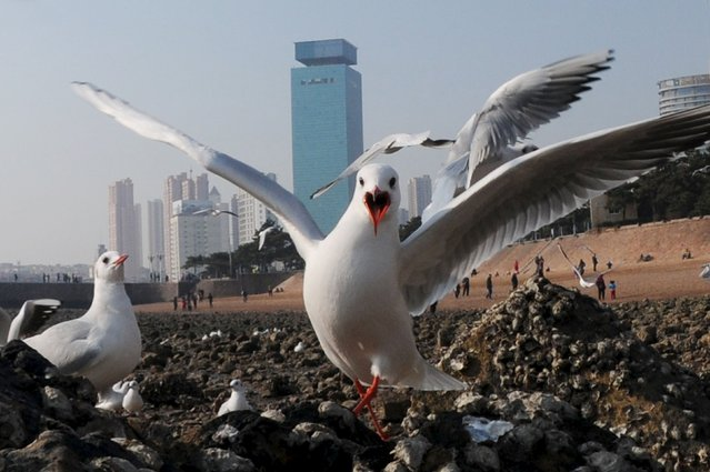 Black-headed gulls are pictured at the seaside in Qingdao, Shandong province, December 28, 2015. (Photo by Reuters/Stringer)