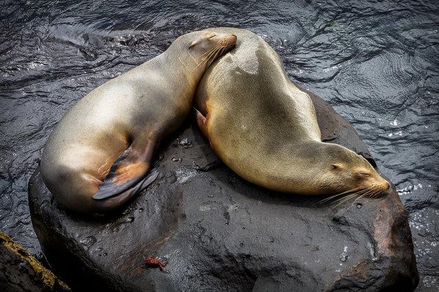 """Tough life. Galapagos Sea Lions"". (Photo by Carl Fredrickson)"