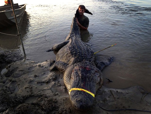 In this photo released to Reuters on Tuesday, Dustin Bockman is pictured with his record setting alligator, weighing 727 pounds and measuring 13 feet, captured in Vicksburg, Mississippi on September 1, 2013. Bockman, a 27-year-old UPS driver, and his crew spotted the mammoth creature in the Mississippi River and trailed it for two hours before getting close enough to spear it. It took another two hours to hook it with a second line and noose its neck. (Photo by Ryan Bockman/Handout via Reuters)