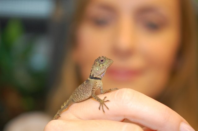Chester Zoo undated handout photo of Keeper Ruth Smith with a rare baby Bell's anglehead lizard (Gonocephalus bellii) that has hatched at the Zoo and is believed to be the first ever be bred in the UK, September 18, 2013.  (Photo by Matt Cook/Chester Zoo/PA Wire)