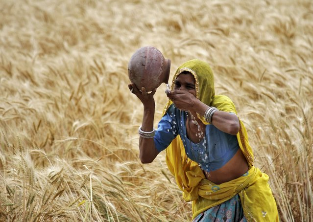 A woman farmer drinks water from an earthen pot in a wheat field on the outskirts of Ajmer in the desert Indian state of Rajasthan, April 4, 2015. (Photo by Himanshu Sharma/Reuters)