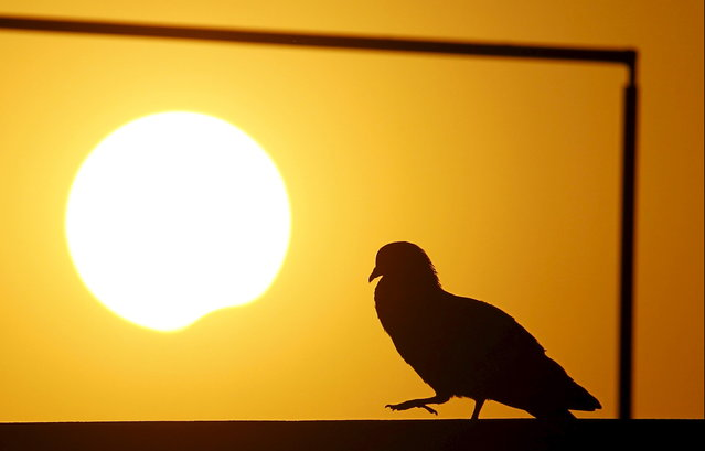 A pigeon is silhouetted as the sun goes into a partial solar eclipse in Kathmandu, Nepal, March 9, 2016. (Photo by Navesh Chitrakar/Reuters)