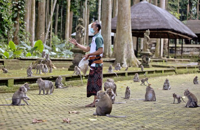 Made Mohon, the operation manager of Sangeh Monkey Forest, feeds macaques with donated peanuts during a feeding time at the popular tourist attraction site in Sangeh, Bali Island, Indonesia, Wednesday, September 1, 2021. (Photo by Firdia Lisnawati/AP Photo)