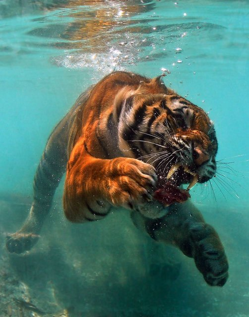A hungry tiger was almost left with a ROARing headache – after nearly colliding into a pane of glass as it dived underwater for a slab of meat. (Photo by Caters News)