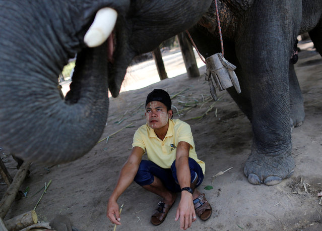 A worker looks at elephant tusk as he works in Wingabaw elephant camp outside Bago division north of Yangon, Myanmar February 2, 2017. (Photo by Soe Zeya Tun/Reuters)