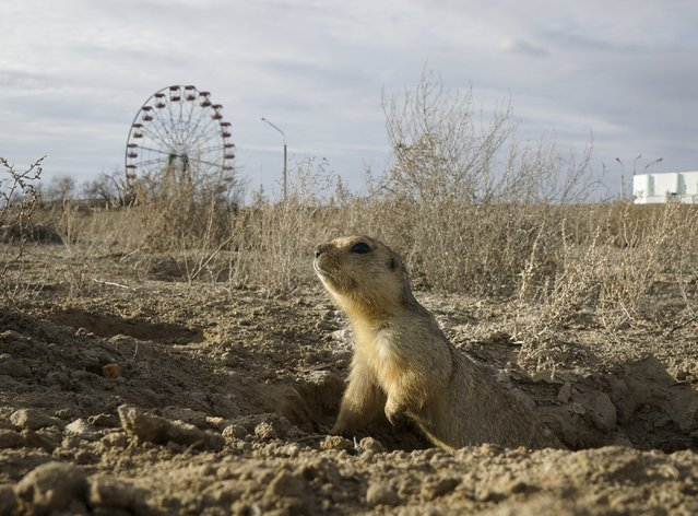 A gopher appears from his burrow in a park in the town of Baikonur, Kazakhstan, March 19, 2016. (Photo by Shamil Zhumatov/Reuters)