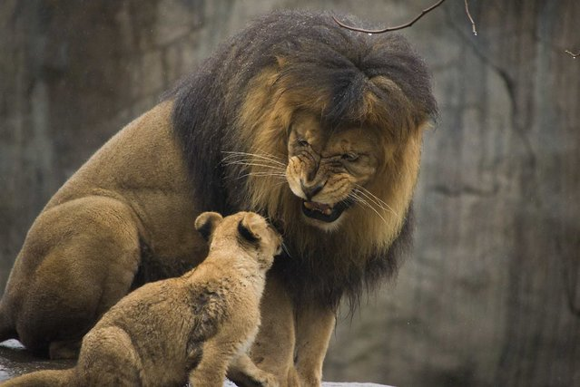 Male lion Zawadi Mungu plays with his cubs for the first time in the Oregon Zoo's Predators of the Serengeti habitat in Portland February 27, 2014 in this handout provided by Oregon Zoo. Picture taken February 27, 2014 and released March 7, 2014. (Photo by Shervin Hess/Reuters/Oregon Zoo)