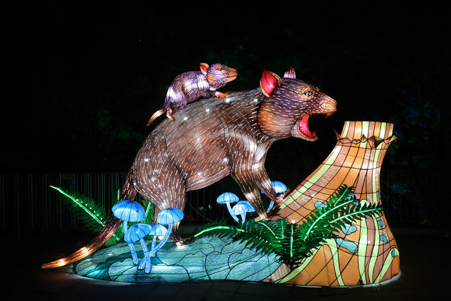 An illuminated lantern sculpture of a tasmanian devils during the media preview of Vivid Sydney at Taronga Zoo on May 19, 2019 in Sydney, Australia. (Photo by Richard Milnes/Rex Features/Shutterstock)