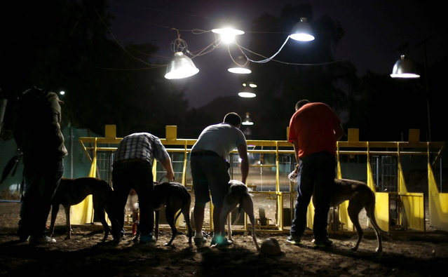 Trainers prepare their greyhounds to take position for a race at Santiago city, March 1, 2014. (Photo by Ivan Alvarado/Reuters)