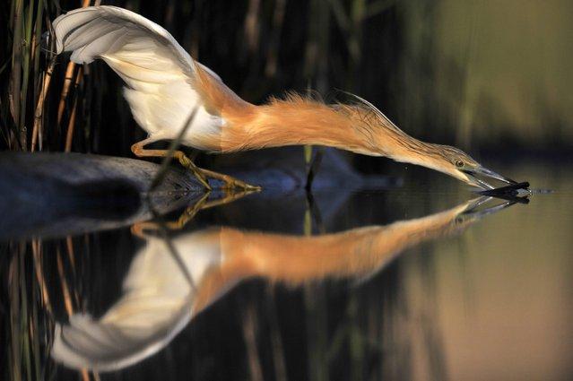 A photo made available on 27 April 2016 shows a fishing squacco heron near Pusztaszer, some 140 kms southeast of Budapest, Hungary 26 April 2016. (Photo by Attila Kovacs/EPA)