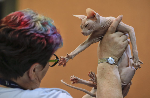 In this Sunday, March 12, 2017, picture a Don Sphinx cat reaches for a judge while being evaluated, in Bucharest, Romania. (Photo by Vadim Ghirda/AP Photo)