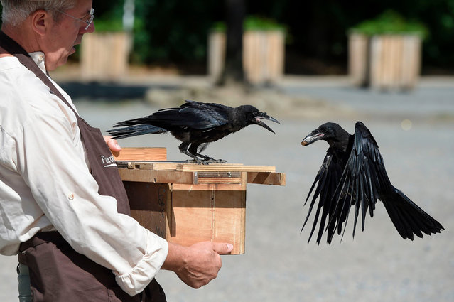 Christophe Gaborit, in charge of the falconry at Le Puy du Fou theme park looks at two of his crows, trained to collect cigarette ends and wastes on the parking of Le Puy du Fou, in Les Epesses, western France on August 14, 2018. Six crows specially trained to pick up cigarette ends and rubbish were put to work last week at a French historical theme park. (Photo by Sebastien Salom Gomis/AFP Photo)