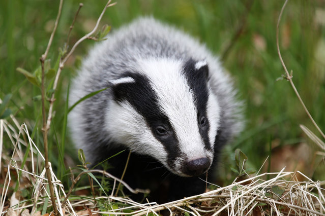 A badger walks in woodland in Perthshire, Scotland April 17, 2014. (Photo by Russell Cheyne/Reuters)