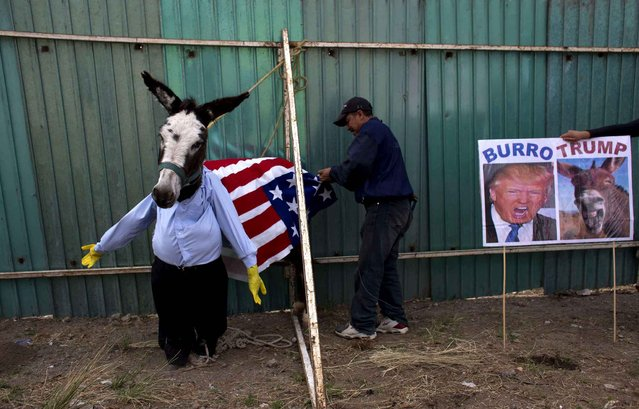 In this May 1, 2016 photo, a man dresses a donkey to resemble Donald Trump in preparation for the costume competition at the annual donkey festival in Otumba, Mexico state, Mexico. The donkey was later adorned with a blond wig and eyebrows. None of the Trump entrants won much favor with the audience at the 51st annual donkey fest. Audience applause chose donkeys emulating a Smurf, a firefighter and an Uber ride for the first top three prizes. (Photo by Rebecca Blackwell/AP Photo)
