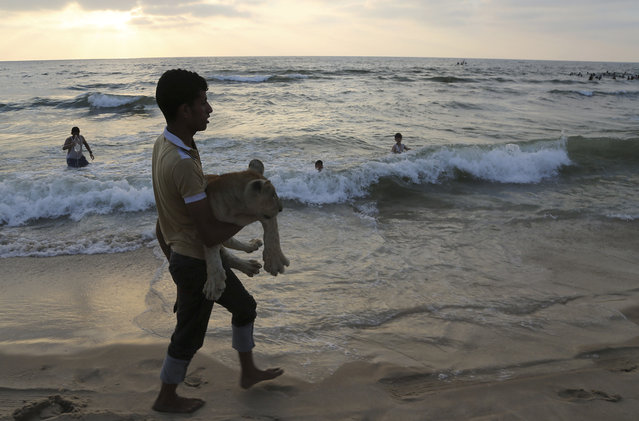 In this Monday, June 15, 2015 photo, Ahmad Abu Jereda, 16, carries Mona, the female lion cub, while walking during the sunset at the beach of Gaza City, in the northern Gaza Strip. (Photo by Adel Hana/AP Photo)