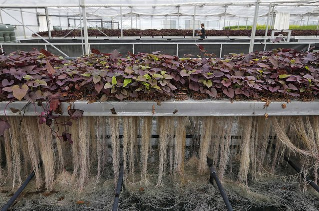 Plants roots are pictured at the Plant Advanced Technologies (PAT) company greenhouse in Laronxe near Nancy, Eastern France, June 19, 2015. (Photo by Vincent Kessler/Reuters)