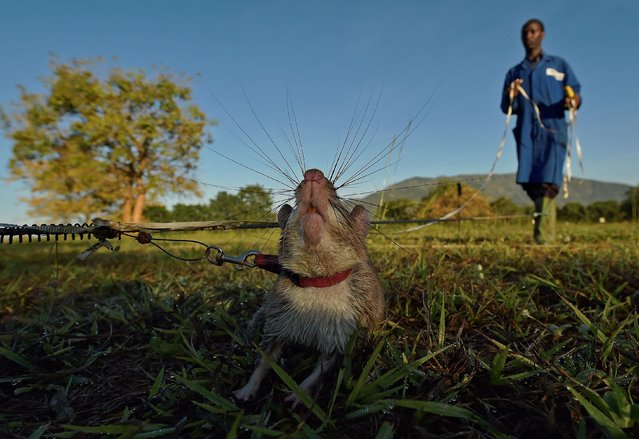 An African giant pouched rat sniffs for traces of landmine explosives at APOPO's training facility in Morogoro on June 17, 2016. APOPO trains the rats to detect both tuberculosis and landmines at its facility. Every year landmines kill or maim thousands of people worldwide. The trained rats sniff for explosive and so are able to detect the presence of landmines far faster than conventional methods which involve metal detection. (Photo by Carl De Souza/AFP Photo)