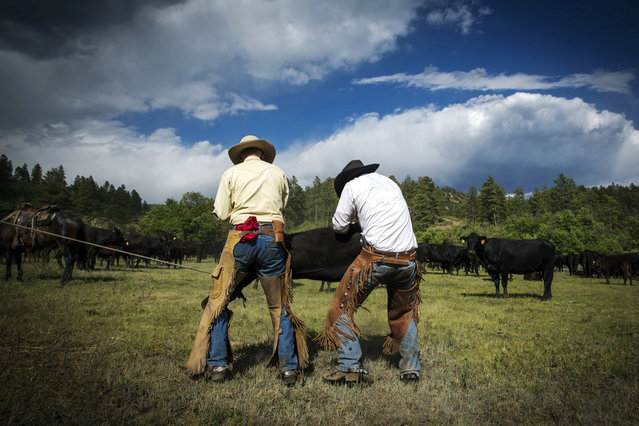 Cowboys Wyatt Williams (R) and David Thompson work to restrain a calf in order to give it medicine near Ignacio, Colorado June 12, 2014. The land where the cattle graze is leased from the Forest Service by third-generation rancher Steve Pargin. Several times a year, he and a crew led by his head cowboy, David Thompson, spend a week or more herding cattle from mountain range to mountain range to prevent them from causing damage to fragile ecosystems by staying in a single area too long. (Photo by Lucas Jackson/Reuters)