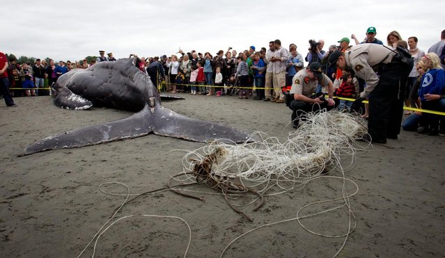 Young humpback whale found dead on the beach in White Rock