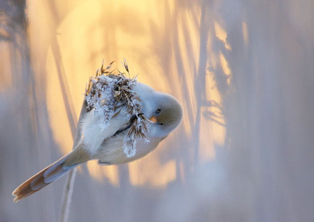 Bearded sunset by Markus Varesvuo, Helsinki, Finland. Winner in best portfolio category and honourable mention for best portrait. Bearded reedling (Panurus biarmicus) cast against the setting mid-winter sun. (Photo by Markus Varesvuo/2017 Bird Photographer of the Year Awards)