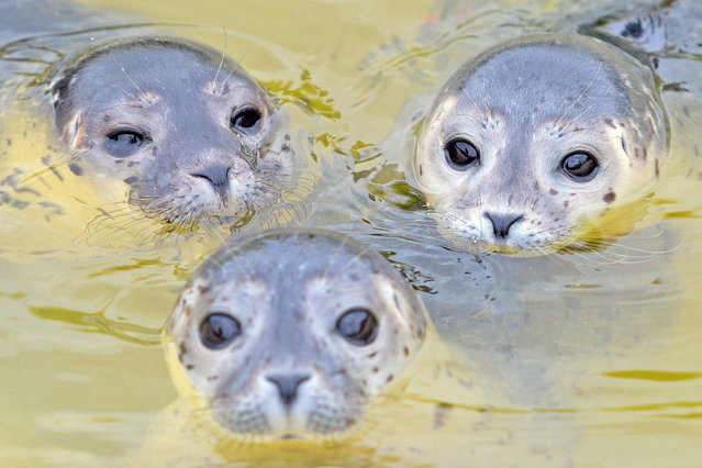 Three baby seals swim in a pool of the seal breeding station in Friedrichskoog, northern Germany, on July 11, 2016. The station close to the North Sea cares for abandoned seal pups that were separated from their mothers. (Photo by Axel Heimken/AFP Photo/DPA)