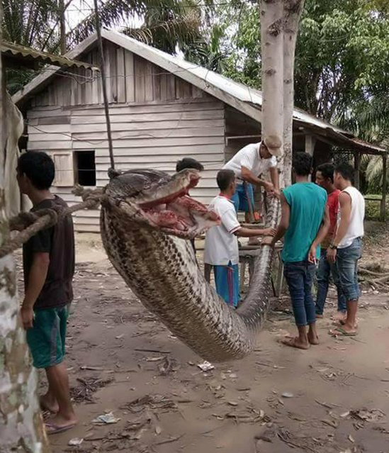 This handout picture taken on September 30, 2017 and released on October 4, 2017 by the Batang Gansal Police shows villagers beside a 7.8 metre (25.6 foot) long python which was killed after it attacked an Indonesian man, nearly severing his arm, in the remote Batang Gansal subdistrict of Sumatra island Hungry locals later killed the snake and displayed its carcass in the village before dicing it up, frying it and feasting on it. (Photo by AFP Photo/Batang Gansal Police)