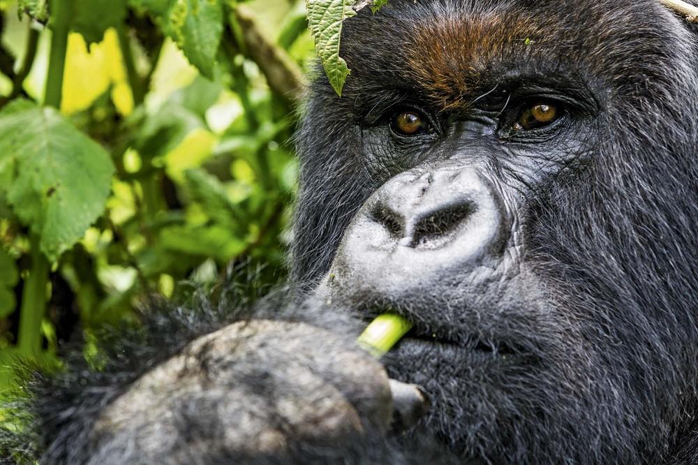 A Drunk Mountain Gorilla