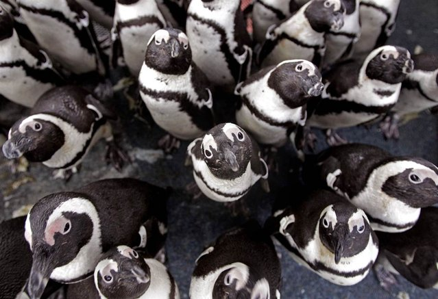 African penguins gather to keep warm as others are fed sardines by staff at the South African Foundation for the Conservation of Coastal Birds. Some 200 penguins were recently found covered in oil on Robben Island in Cape Town, South Africa, on September 20, 2012 following a spillage by a stricken bulk carrier. They are now being cared for by the foundation as they recuperate. (Photo by Schalk Van Zuydam/AP)
