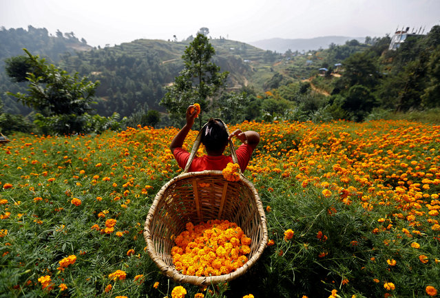 A woman picks marigold flowers used to make garlands and offer prayers, before selling them to the market for the Tihar festival, also called Diwali, in Kathmandu, Nepal October 17, 2017. (Photo by Navesh Chitrakar/Reuters)