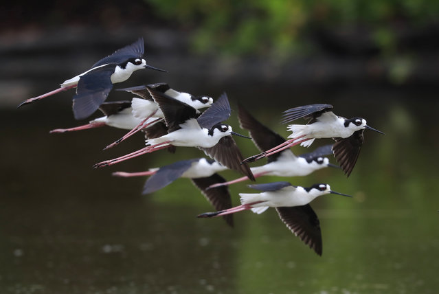 A group of birds are seen inside of a mangrove swamp in Baja Mar west of San Jose, Costa Rica, 07 May 2020 (Issued 09 May 2020). This Saturday the international day of migratory birds is celebrated. (Photo by Jeffrey Arguedas/EPA/EFE)
