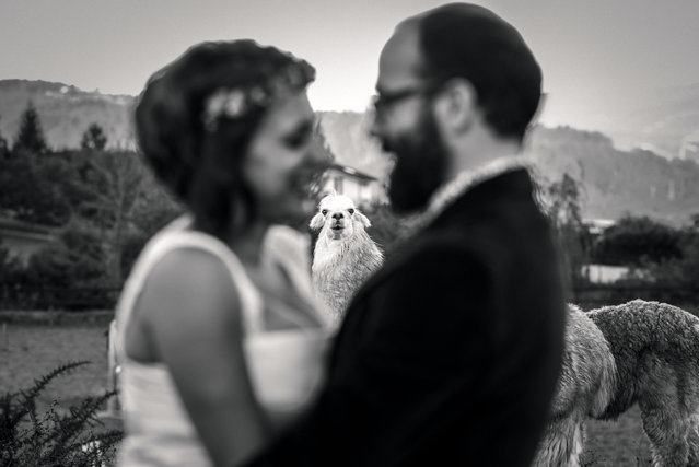 A Lama in the background of a couples photo. (Photo by Oier Aso/Caters News Agency)