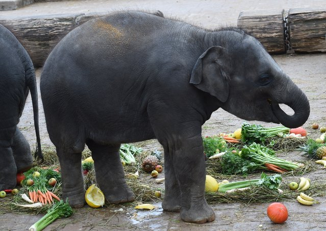 Baby elephant Amithi enjoys some fresh fruit and vegetables at the elephants' enclosure at the zoo in Hanover, central Germany, on October 7, 2014. In line with a European breeding programme, Amithi and other members of the elephant family will move to the Belgian Pairi Daiza zoo in Brugelette near Brussels. (Photo by Holger Hollemann/AFP Photo/DPA)