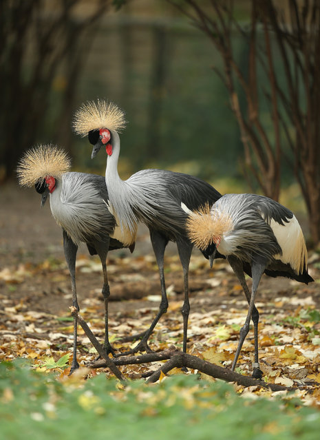 Grey crowned cranes (balearica pavonina gibbericeps, in German: Heller Kronenkranich) stand in their enclosure at Zoo Berlin zoo on October 14, 2014 in Berlin, Germany. The grey crowned crane is native to southeastern Africa and is the continent's most populous crane species. (Photo by Sean Gallup/Getty Images)