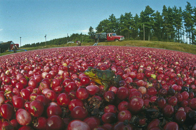 A green frog is seen relaxing on a bed of bright red cranberries as workers in the background prepare to start harvesting the bog of red berries in Carver, Mass., September 28, 1990. (Photo by Charles Krupa/AP Photo)
