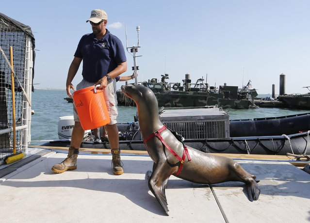 A trainer guides a sea lion back to its cage after it performed its duties during a media demonstration of the International Mine Countermeasures Exercise (IMCMEX), at the U.S. Fifth Fleet naval base, part of U.S. Central Command headquarters in Manama, November 2, 2014. Sea lions equipped with lasers and sonar are deployed for the first time to detect and remove objects, as well as secure harbours and underwater areas which are hard to reach, according to officials. (Photo by Hamad I. Mohammed/Reuters)