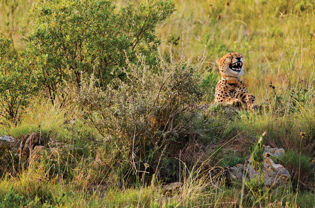 A comedic photo of a cheetah appearing to find something hilarious by Dutton Robert for the Comedy Wildlife Photo Awards 2016, South Africa, April, 2012. (Photo by Dutton Robert/Barcroft Images/Comedy Wildlife Photo Awards)